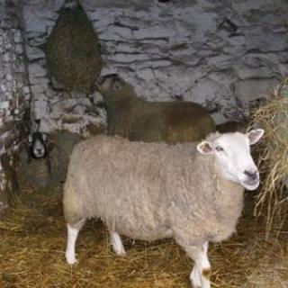 Sheep gallery